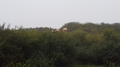 Cows graze above the river
